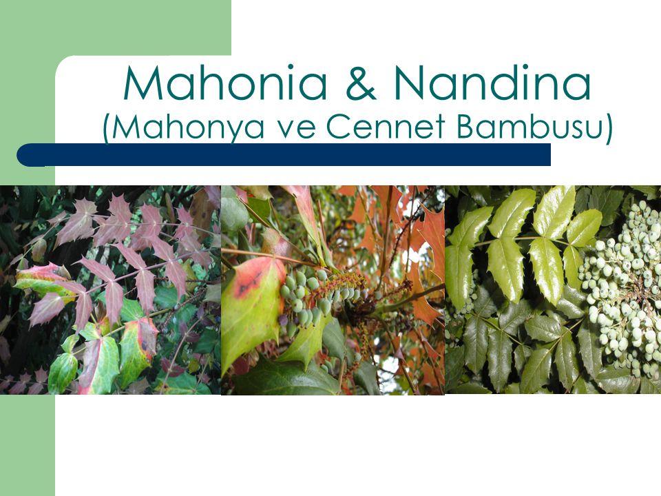Nandina domestica Mahonia media Mahonia japonica