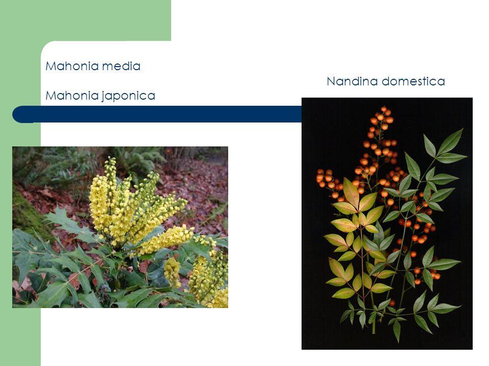 Mahonia media (Oregon Üzümü) Mahonia media (Oregon Üzümü) * Herdem yeşil,çalı görünümündedir.