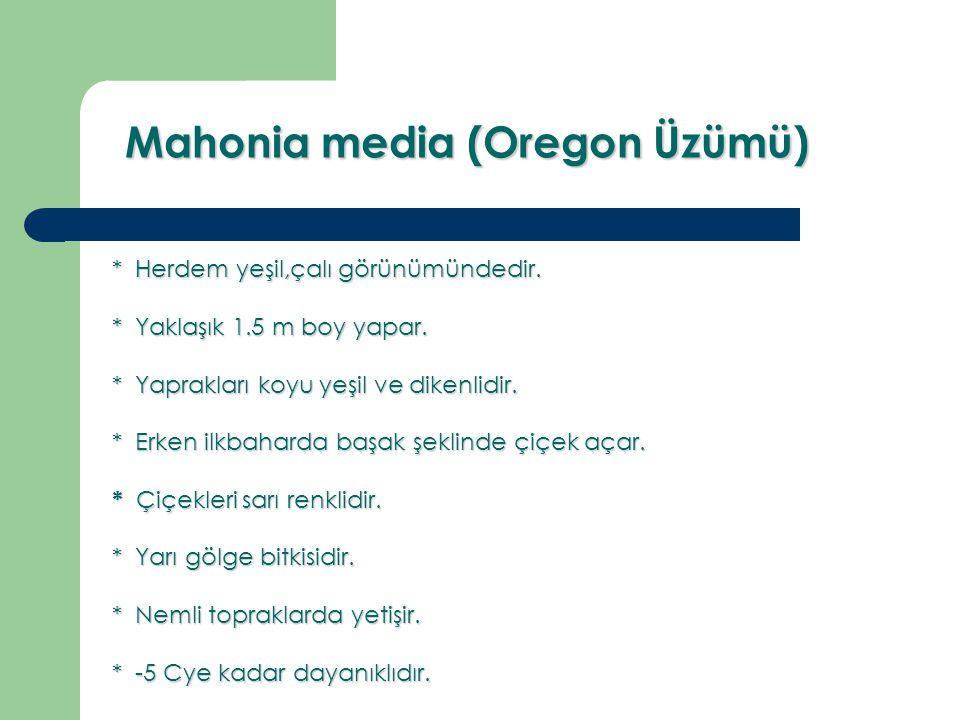 Mahonia media (Oregon Üzümü) Mahonia media (Oregon Üzümü) * Herdem yeşil,çalı görünümündedir. * Yaklaşık 1.5 m boy yapar. * Yaprakları koyu yeşil ve d