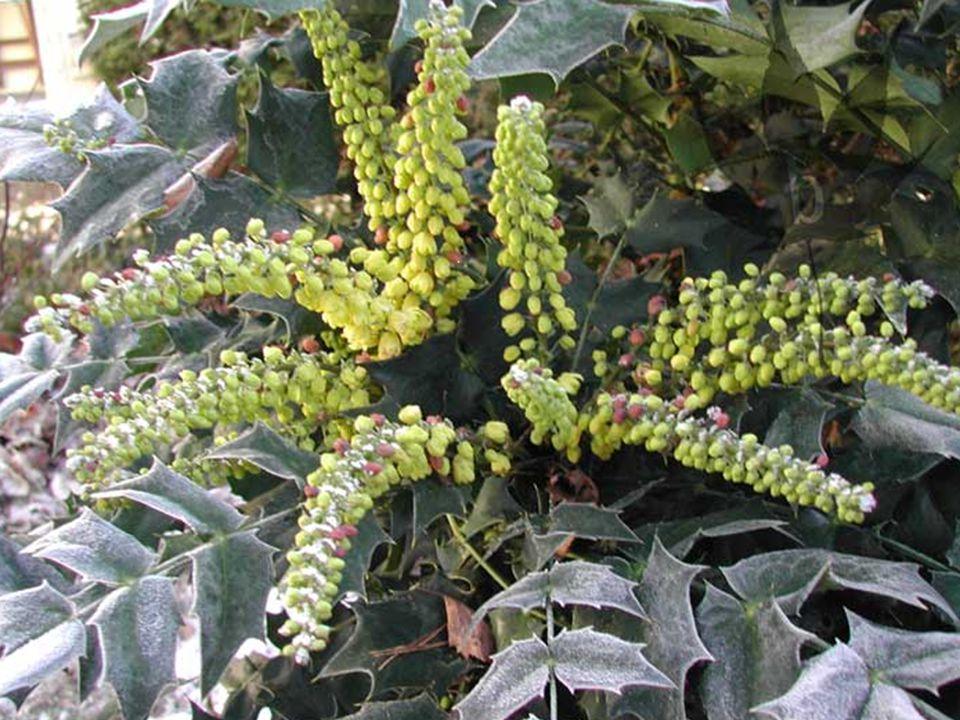 Mahonia japonica (Sarı Boya Ağacı) * Herdem yeşil çalılardır.