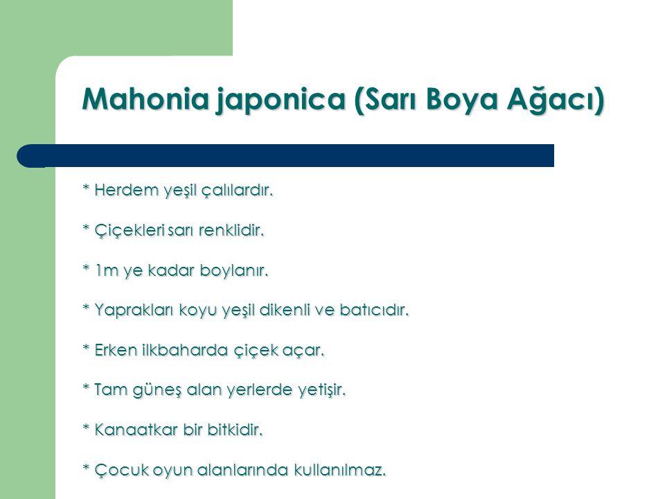 Mahonia japonica (Sarı Boya Ağacı) * Herdem yeşil çalılardır. * Çiçekleri sarı renklidir. * 1m ye kadar boylanır. * Yaprakları koyu yeşil dikenli ve b