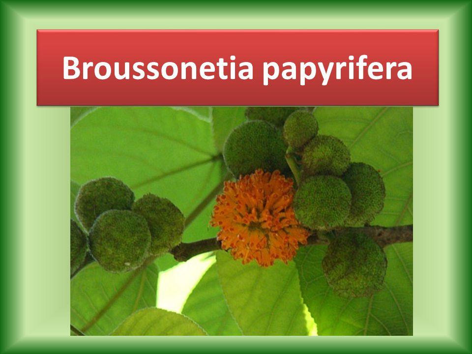 Alem: Plantae Bölüm: Angiosperms Sınıf: Magnoliopsida Takım: Rosales Familya Moraceae Cins: Broussonetia Tür: B.