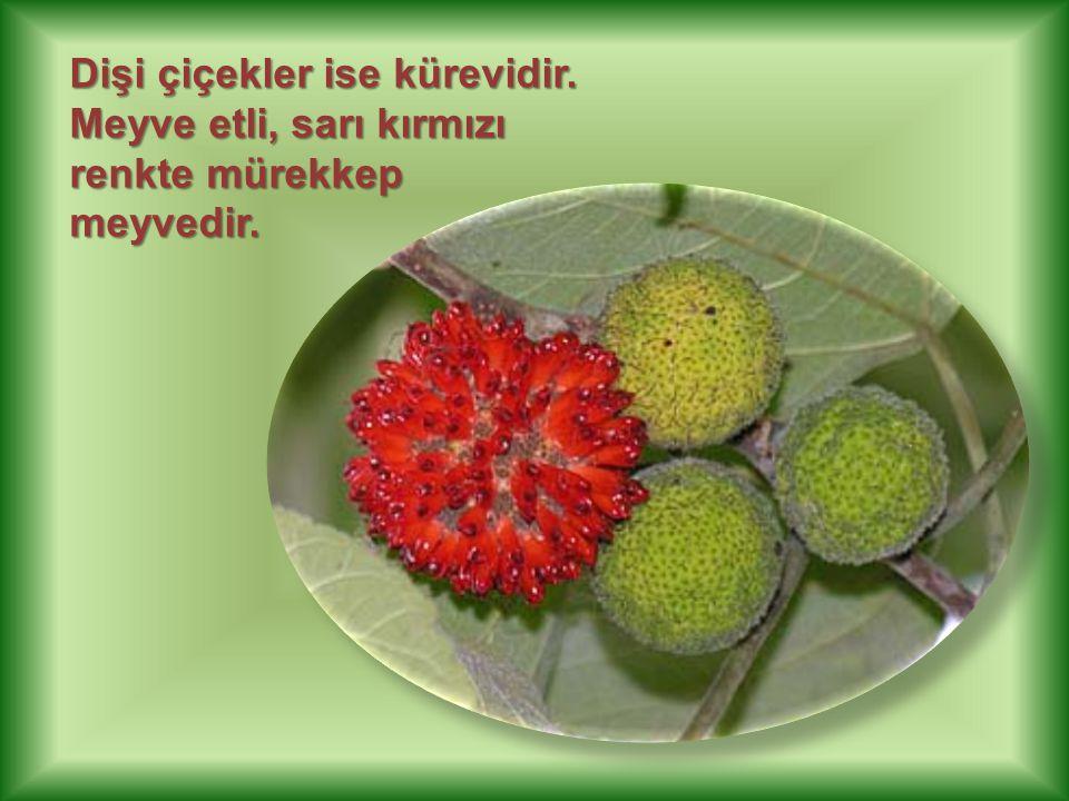 Dişi çiçekler ise kürevidir. Meyve etli, sarı kırmızı renkte mürekkep meyvedir.