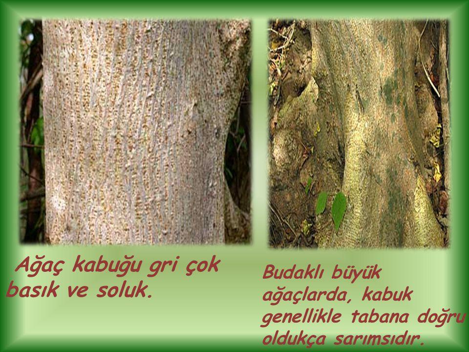 Ağaç kabuğu gri çok basık ve soluk. Budaklı büyük ağaçlarda, kabuk genellikle tabana doğru oldukça sarımsıdır.