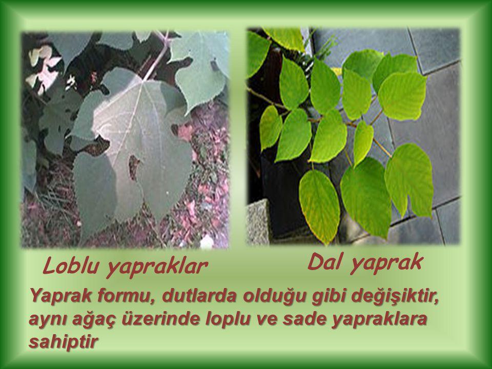 Loblu yapraklar Dal yaprak Yaprak formu, dutlarda olduğu gibi değişiktir, aynı ağaç üzerinde loplu ve sade yapraklara sahiptir
