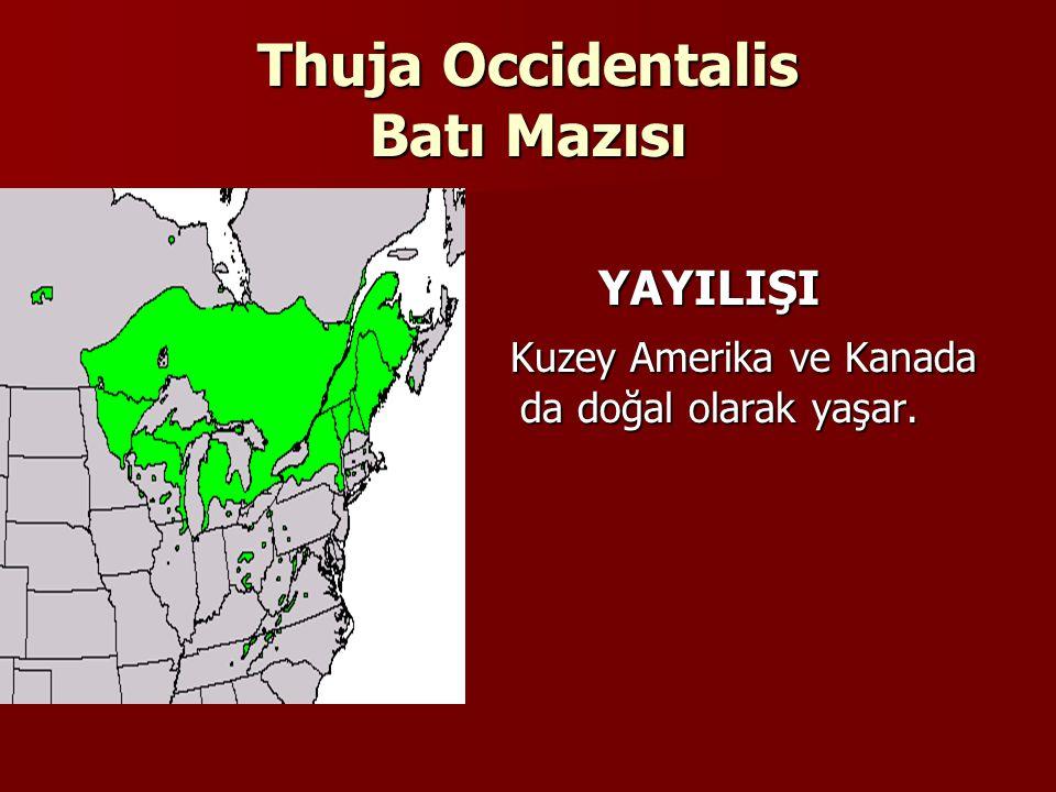 Thuja Occidentalis Batı Mazısı YAYILIŞI YAYILIŞI Kuzey Amerika ve Kanada da doğal olarak yaşar.