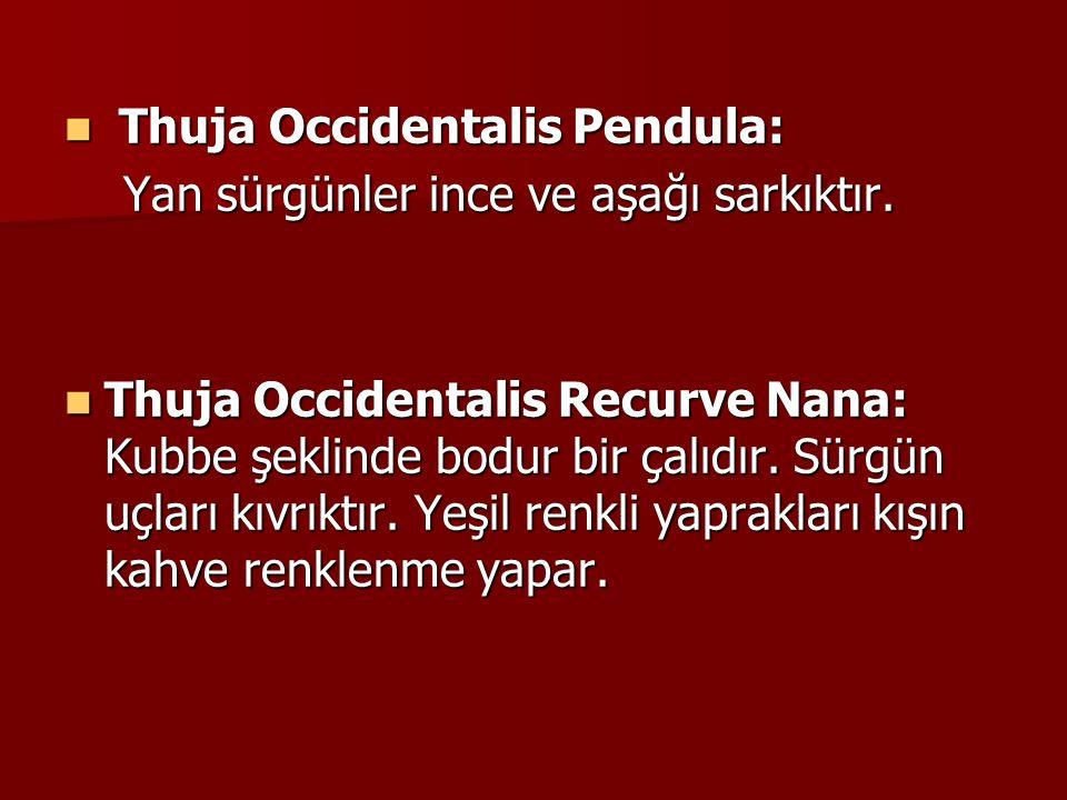 Thuja Occidentalis Pendula: Thuja Occidentalis Pendula: Yan sürgünler ince ve aşağı sarkıktır.