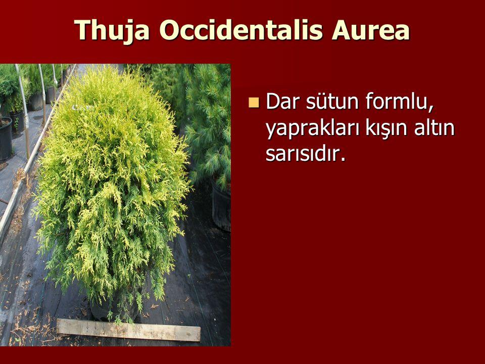 Thuja Occidentalis Aurea Dar sütun formlu, yaprakları kışın altın sarısıdır.