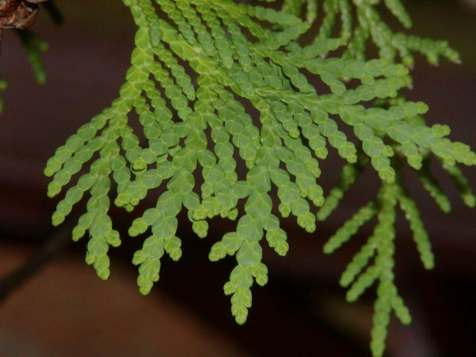 Tohumlar ince, dar ve yassıdır.Her kozalak pulunun altında iki tane tohum vardır.