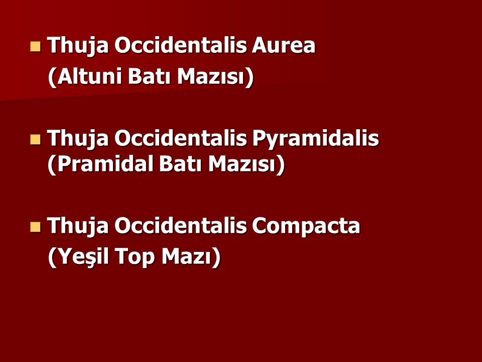 Thuja Occidentalis Aurea Thuja Occidentalis Aurea (Altuni Batı Mazısı) (Altuni Batı Mazısı) Thuja Occidentalis Pyramidalis (Pramidal Batı Mazısı) Thuja Occidentalis Pyramidalis (Pramidal Batı Mazısı) Thuja Occidentalis Compacta Thuja Occidentalis Compacta (Yeşil Top Mazı) (Yeşil Top Mazı)