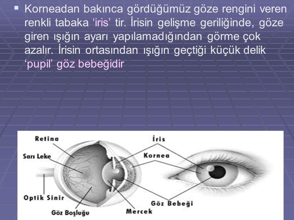 25   Korneadan bakınca gördüğümüz göze rengini veren renkli tabaka 'iris' tir. İrisin gelişme geriliğinde, göze giren ışığın ayarı yapılamadığından