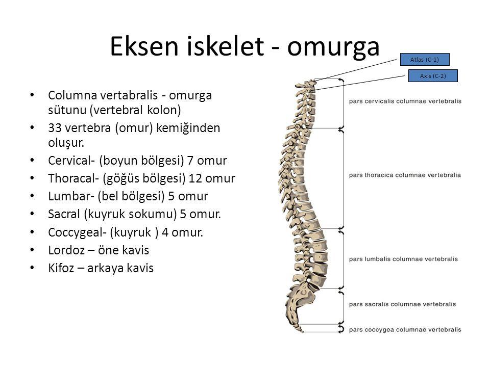 Eksen iskelet - omurga Columna vertabralis - omurga sütunu (vertebral kolon) 33 vertebra (omur) kemiğinden oluşur. Cervical- (boyun bölgesi) 7 omur Th
