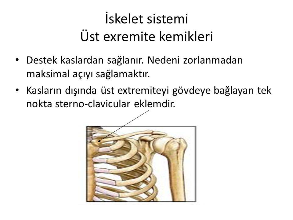 İskelet sistemi Üst exremite kemikleri Destek kaslardan sağlanır. Nedeni zorlanmadan maksimal açıyı sağlamaktır. Kasların dışında üst extremiteyi gövd
