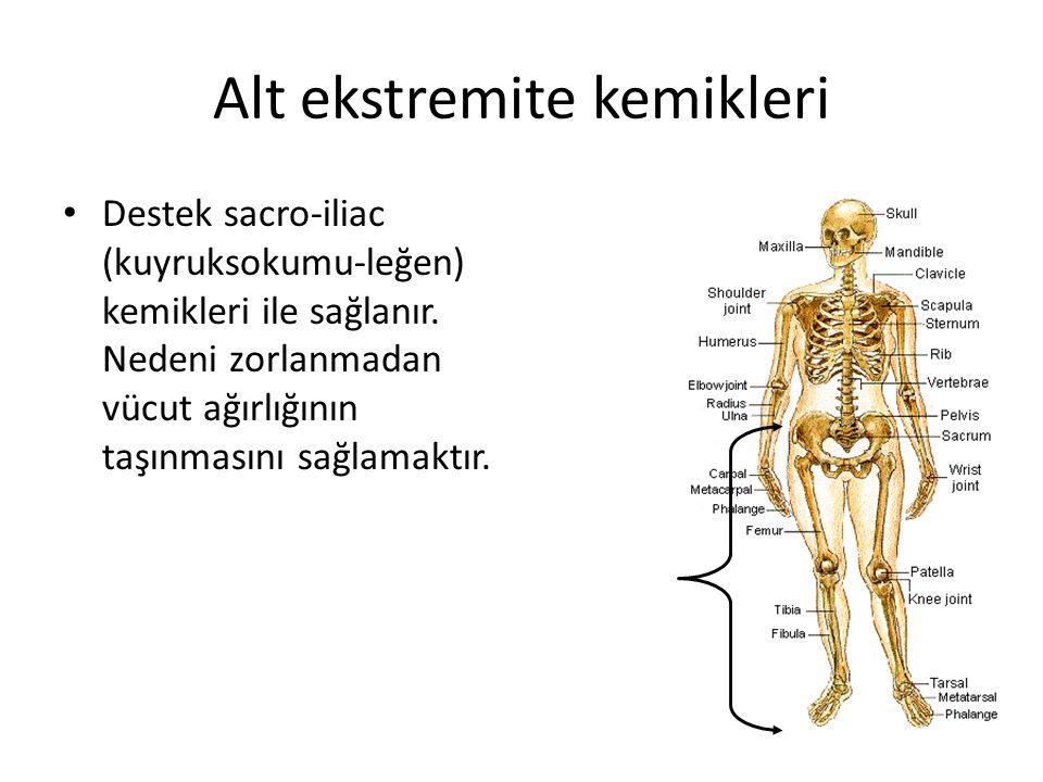 Alt ekstremite kemikleri Destek sacro-iliac (kuyruksokumu-leğen) kemikleri ile sağlanır. Nedeni zorlanmadan vücut ağırlığının taşınmasını sağlamaktır.