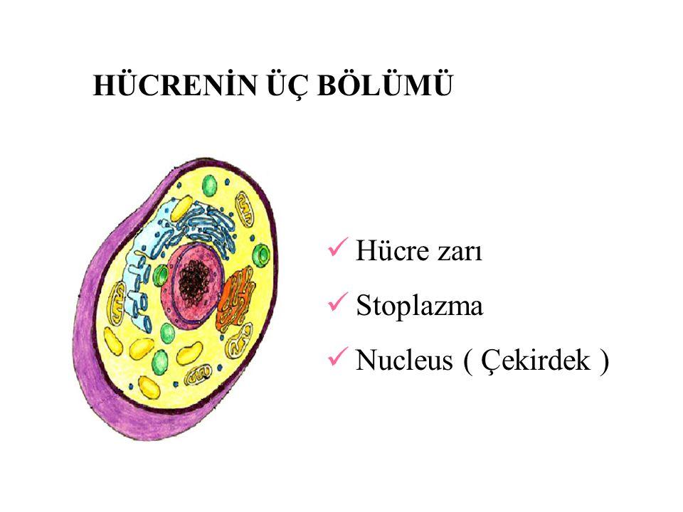 DOKULAR Hücrelerin işleve göre gruplaşması dokuların oluşumunu sağlamaktadır.