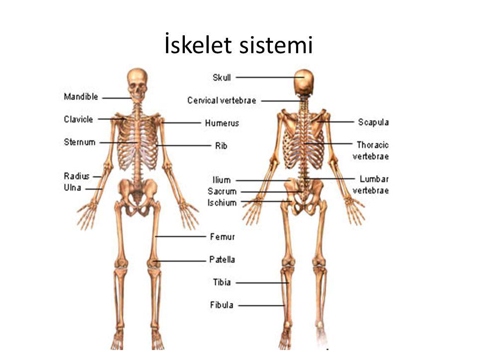 İskelet sistemin görevleri Destek – Gövde desteği Koruma – Beyin, omurilik ve iç organlar için koruma alanı Hareket – kaslar için manivela Mineral deposu –kalsiyum ve fosfor Kan hücesi oluşumu – kemik iliğinde eritrosit ve trombosit