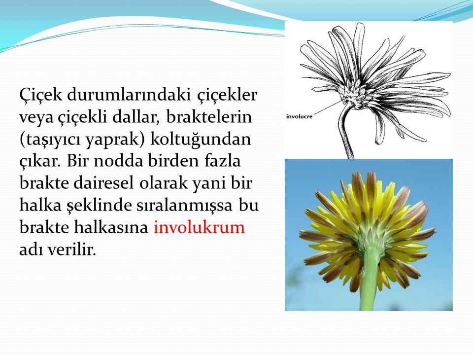 Çiçek durumlarındaki çiçekler veya çiçekli dallar, braktelerin (taşıyıcı yaprak) koltuğundan çıkar. Bir nodda birden fazla brakte dairesel olarak yani