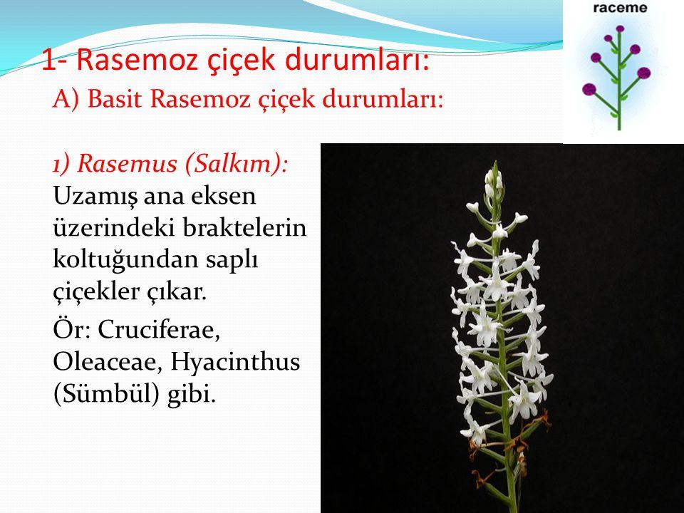 1- Rasemoz çiçek durumları: 1) Rasemus (Salkım): Uzamış ana eksen üzerindeki braktelerin koltuğundan saplı çiçekler çıkar. Ör: Cruciferae, Oleaceae, H