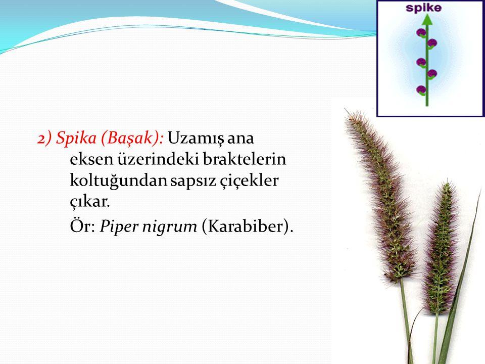 2) Spika (Başak): Uzamış ana eksen üzerindeki braktelerin koltuğundan sapsız çiçekler çıkar. Ör: Piper nigrum (Karabiber).