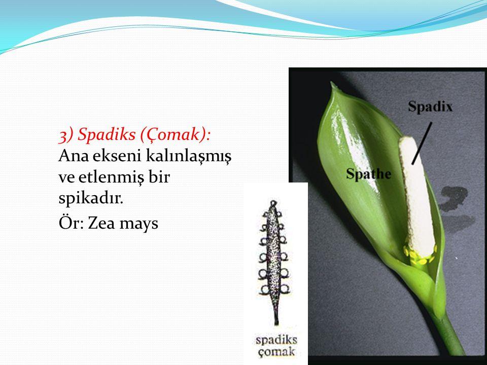3) Spadiks (Çomak): Ana ekseni kalınlaşmış ve etlenmiş bir spikadır. Ör: Zea mays