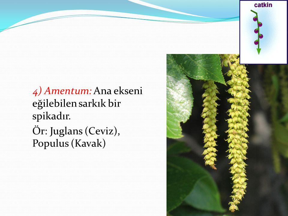 4) Amentum: Ana ekseni eğilebilen sarkık bir spikadır. Ör: Juglans (Ceviz), Populus (Kavak)