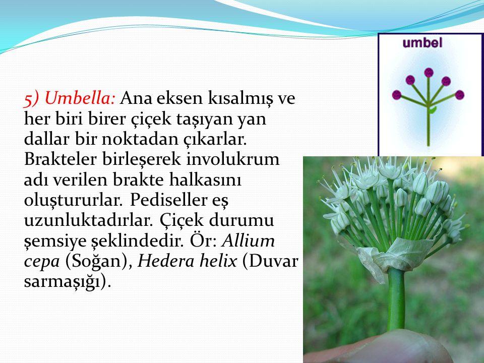 5) Umbella: Ana eksen kısalmış ve her biri birer çiçek taşıyan yan dallar bir noktadan çıkarlar. Brakteler birleşerek involukrum adı verilen brakte ha