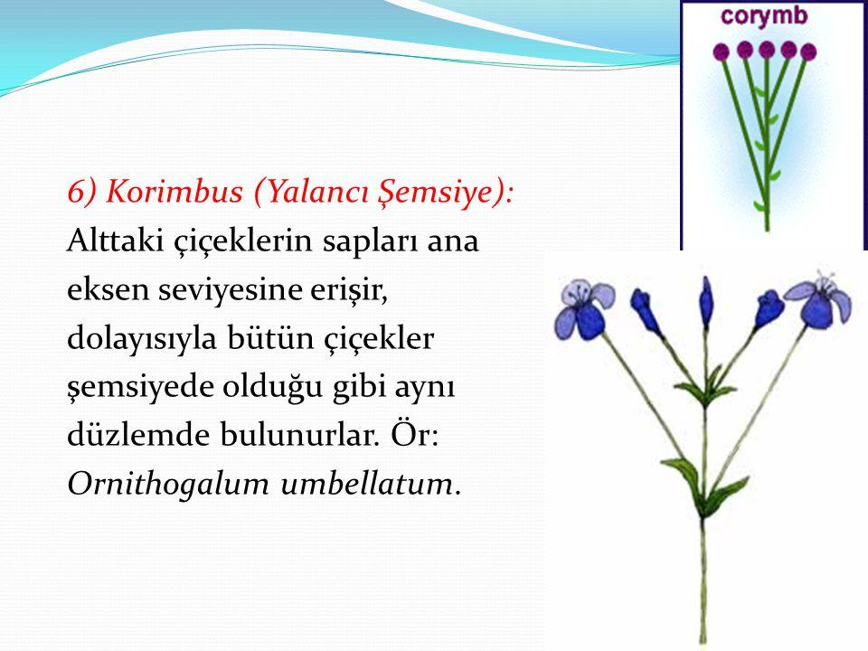 6) Korimbus (Yalancı Şemsiye): Alttaki çiçeklerin sapları ana eksen seviyesine erişir, dolayısıyla bütün çiçekler şemsiyede olduğu gibi aynı düzlemde