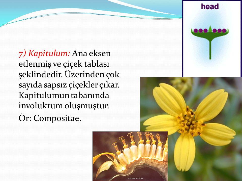 7) Kapitulum: Ana eksen etlenmiş ve çiçek tablası şeklindedir. Üzerinden çok sayıda sapsız çiçekler çıkar. Kapitulumun tabanında involukrum oluşmuştur