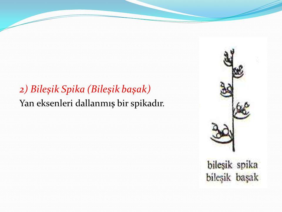 2) Bileşik Spika (Bileşik başak) Yan eksenleri dallanmış bir spikadır.