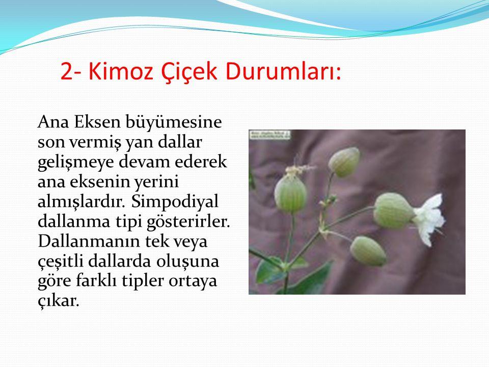 2- Kimoz Çiçek Durumları: Ana Eksen büyümesine son vermiş yan dallar gelişmeye devam ederek ana eksenin yerini almışlardır. Simpodiyal dallanma tipi g