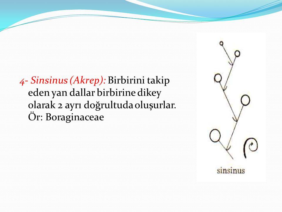 4- Sinsinus (Akrep): Birbirini takip eden yan dallar birbirine dikey olarak 2 ayrı doğrultuda oluşurlar. Ör: Boraginaceae