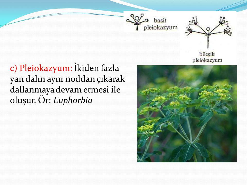 c) Pleiokazyum: İkiden fazla yan dalın aynı noddan çıkarak dallanmaya devam etmesi ile oluşur. Ör: Euphorbia