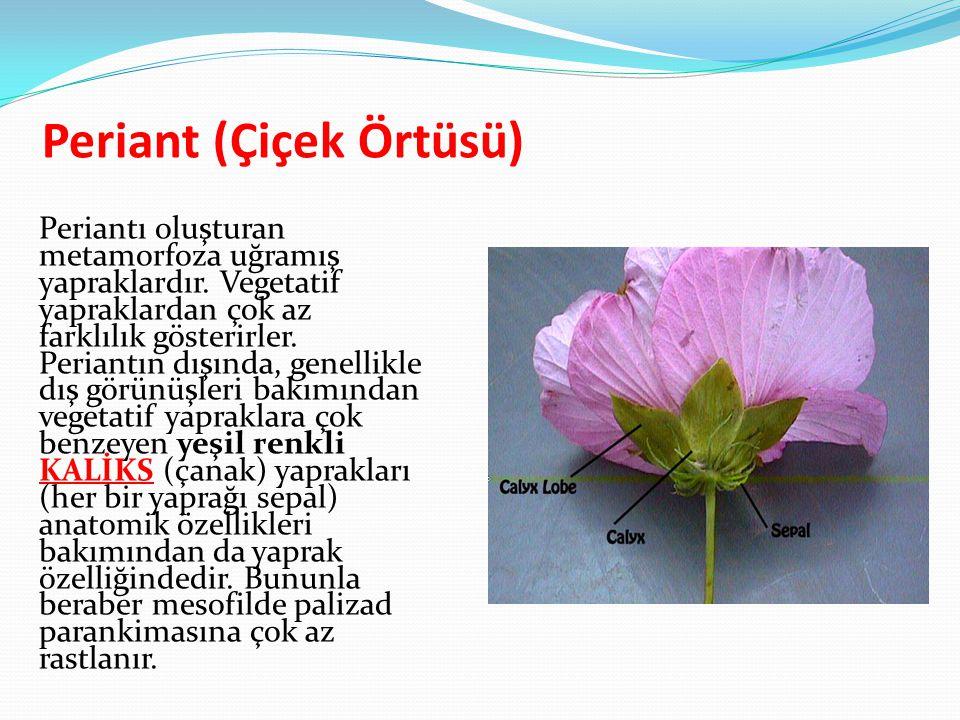 Periant (Çiçek Örtüsü) Periantı oluşturan metamorfoza uğramış yapraklardır. Vegetatif yapraklardan çok az farklılık gösterirler. Periantın dışında, ge