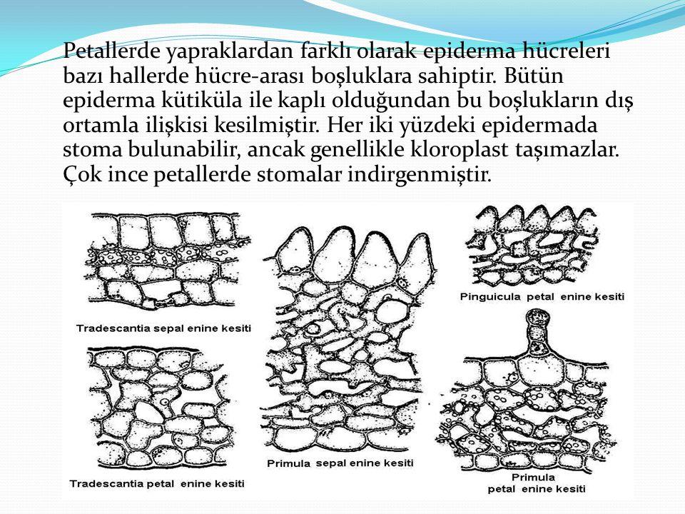 Petallerde yapraklardan farklı olarak epiderma hücreleri bazı hallerde hücre-arası boşluklara sahiptir. Bütün epiderma kütiküla ile kaplı olduğundan b