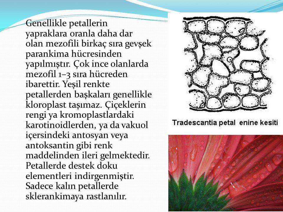 Genellikle petallerin yapraklara oranla daha dar olan mezofili birkaç sıra gevşek parankima hücresinden yapılmıştır. Çok ince olanlarda mezofil 1–3 sı