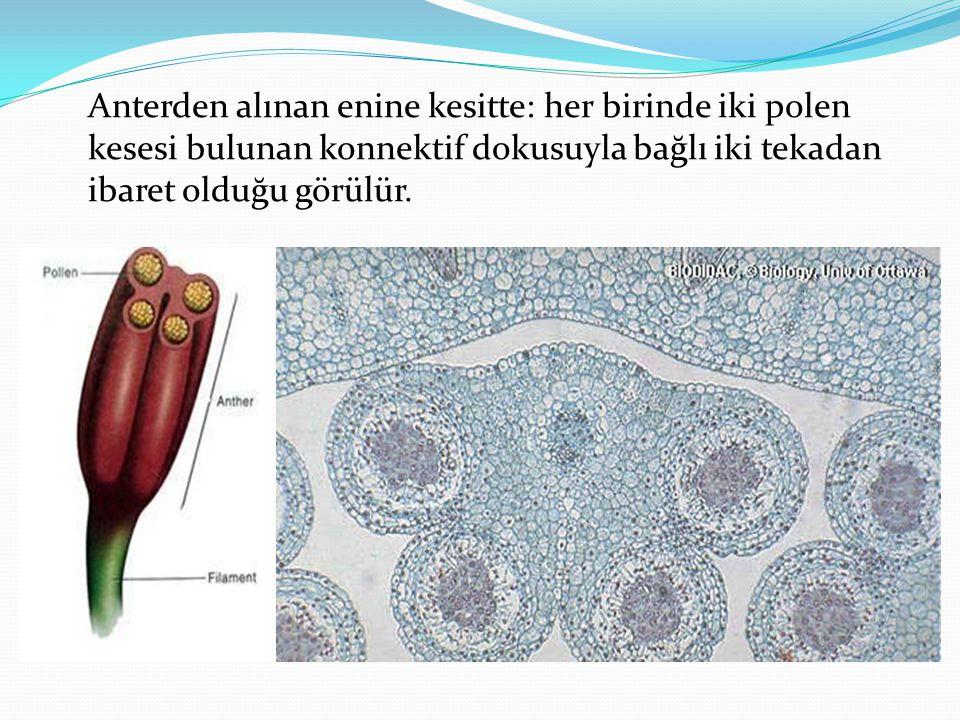 Anterden alınan enine kesitte: her birinde iki polen kesesi bulunan konnektif dokusuyla bağlı iki tekadan ibaret olduğu görülür.