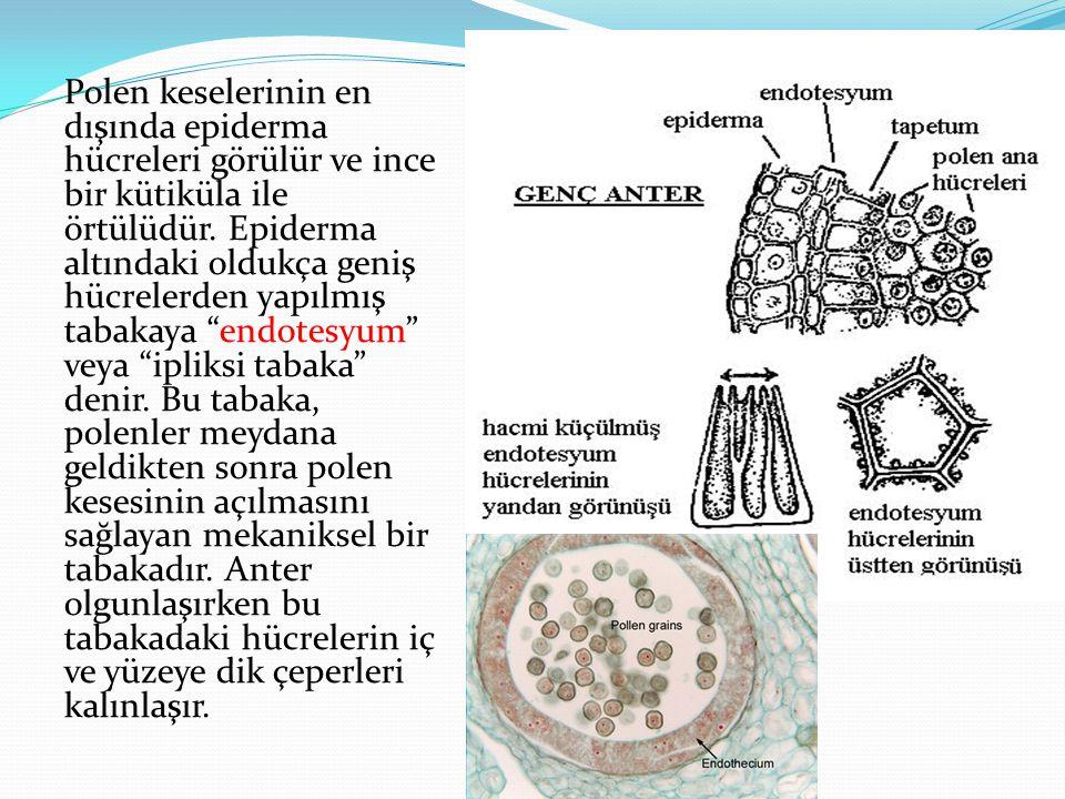 Polen keselerinin en dışında epiderma hücreleri görülür ve ince bir kütiküla ile örtülüdür. Epiderma altındaki oldukça geniş hücrelerden yapılmış taba