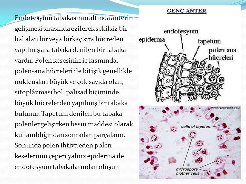 Endotesyum tabakasının altında anterin gelişmesi sırasında ezilerek şekilsiz bir hal alan bir veya birkaç sıra hücreden yapılmış ara tabaka denilen bi