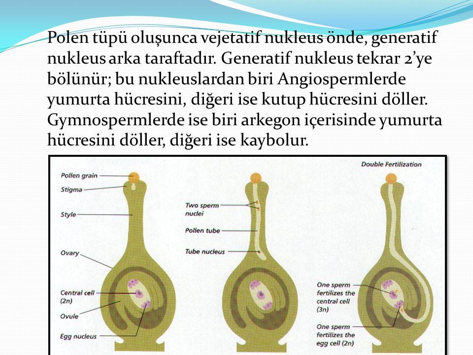 Polen tüpü oluşunca vejetatif nukleus önde, generatif nukleus arka taraftadır. Generatif nukleus tekrar 2'ye bölünür; bu nukleuslardan biri Angiosperm