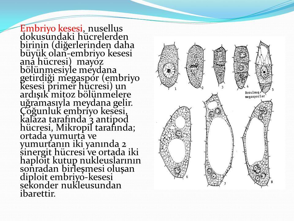 Embriyo kesesi, nusellus dokusundaki hücrelerden birinin (diğerlerinden daha büyük olan-embriyo kesesi ana hücresi) mayoz bölünmesiyle meydana getirdi