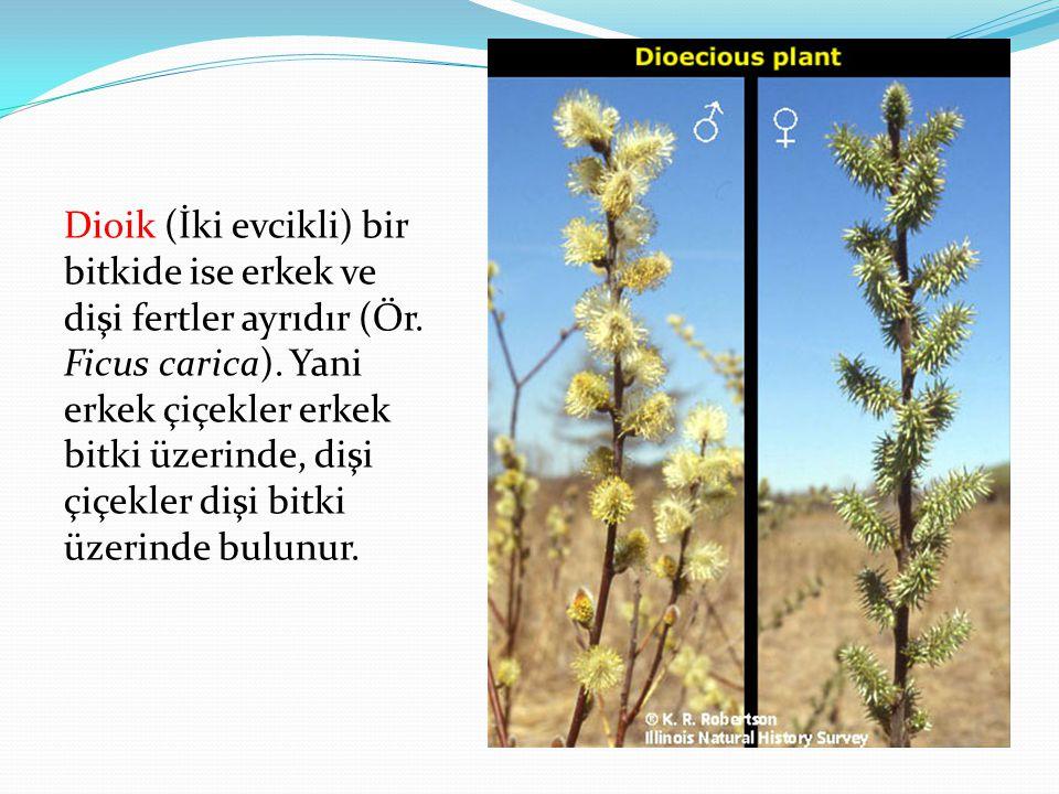 Dioik (İki evcikli) bir bitkide ise erkek ve dişi fertler ayrıdır (Ör. Ficus carica). Yani erkek çiçekler erkek bitki üzerinde, dişi çiçekler dişi bit