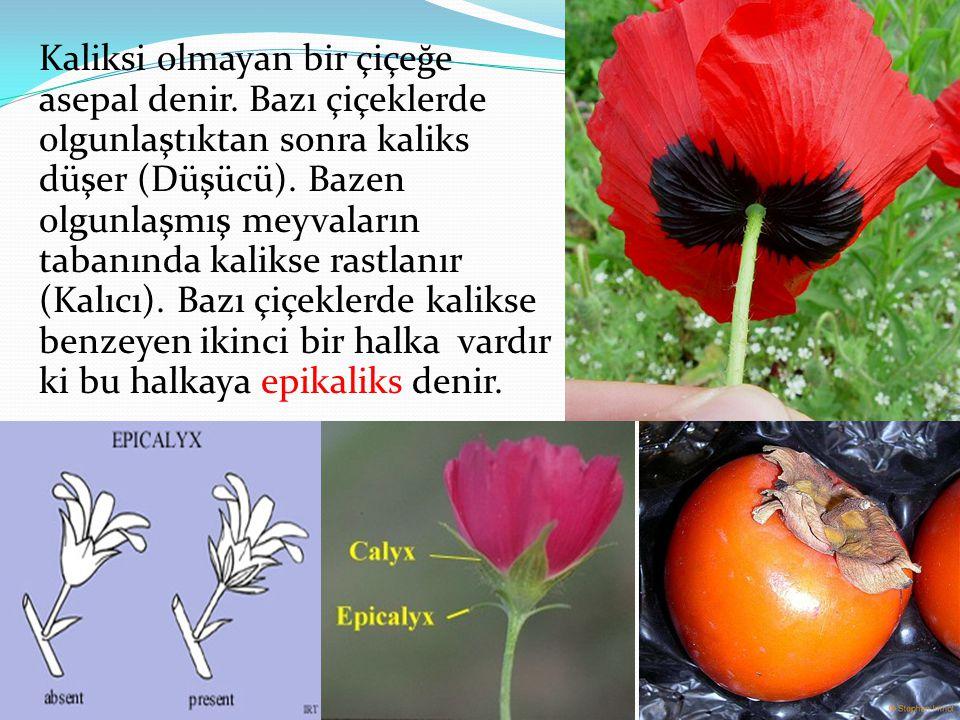 Kaliksi olmayan bir çiçeğe asepal denir. Bazı çiçeklerde olgunlaştıktan sonra kaliks düşer (Düşücü). Bazen olgunlaşmış meyvaların tabanında kalikse ra