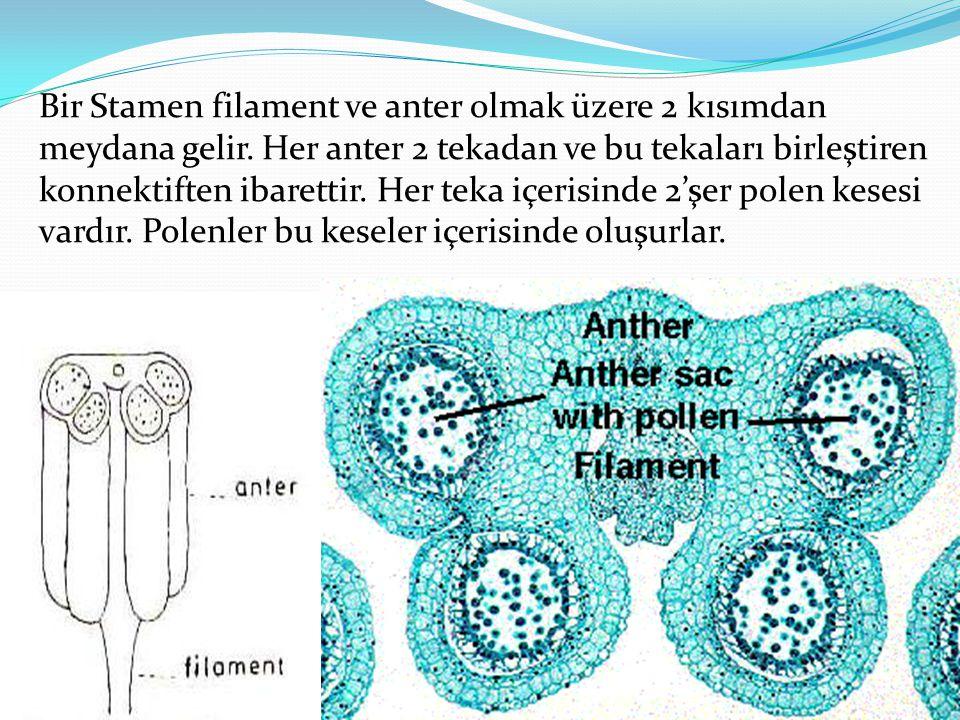 Bir Stamen filament ve anter olmak üzere 2 kısımdan meydana gelir. Her anter 2 tekadan ve bu tekaları birleştiren konnektiften ibarettir. Her teka içe