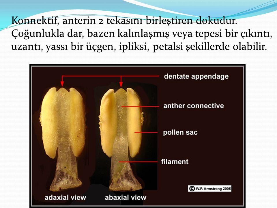 Konnektif, anterin 2 tekasını birleştiren dokudur. Çoğunlukla dar, bazen kalınlaşmış veya tepesi bir çıkıntı, uzantı, yassı bir üçgen, ipliksi, petals