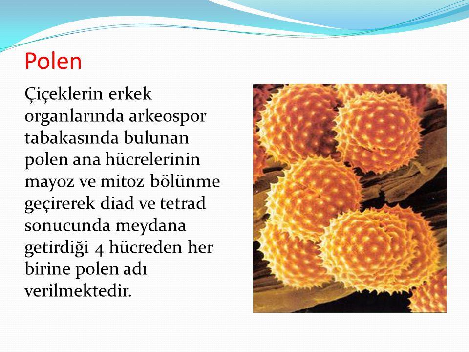 Polen Çiçeklerin erkek organlarında arkeospor tabakasında bulunan polen ana hücrelerinin mayoz ve mitoz bölünme geçirerek diad ve tetrad sonucunda mey