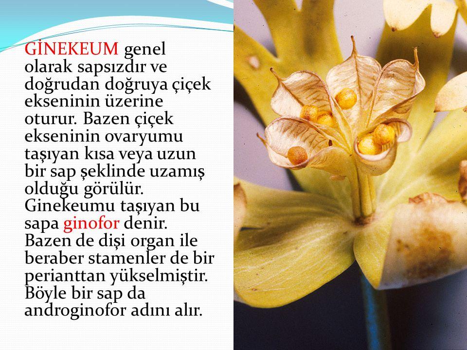 GİNEKEUM genel olarak sapsızdır ve doğrudan doğruya çiçek ekseninin üzerine oturur. Bazen çiçek ekseninin ovaryumu taşıyan kısa veya uzun bir sap şekl