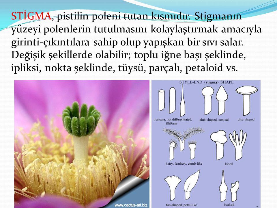 STİGMA, pistilin poleni tutan kısmıdır. Stigmanın yüzeyi polenlerin tutulmasını kolaylaştırmak amacıyla girinti-çıkıntılara sahip olup yapışkan bir sı