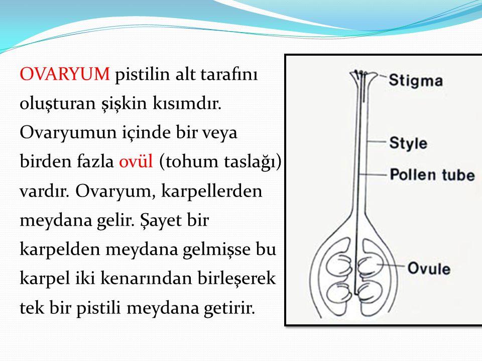 OVARYUM pistilin alt tarafını oluşturan şişkin kısımdır. Ovaryumun içinde bir veya birden fazla ovül (tohum taslağı) vardır. Ovaryum, karpellerden mey