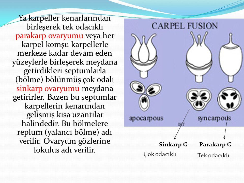 Ya karpeller kenarlarından birleşerek tek odacıklı parakarp ovaryumu veya her karpel komşu karpellerle merkeze kadar devam eden yüzeylerle birleşerek