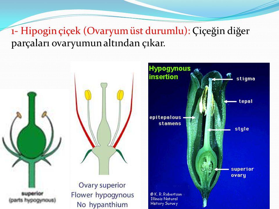 1- Hipogin çiçek (Ovaryum üst durumlu): Çiçeğin diğer parçaları ovaryumun altından çıkar.